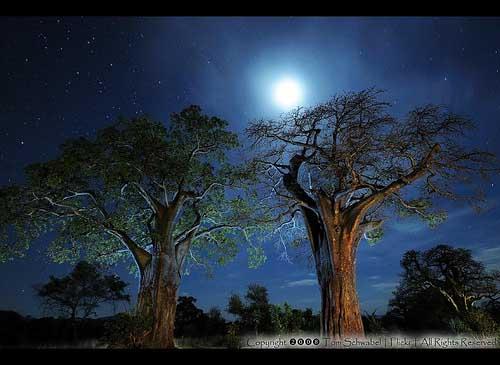 BaobabsatNight90