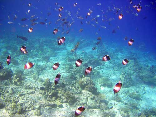 BlackPyramidButterflyfish73