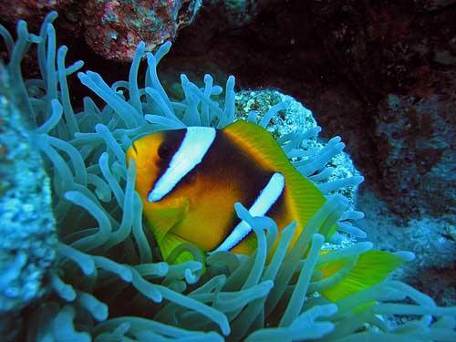 Clownfish77