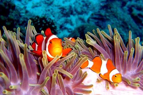 ClownfishesatEastofEden12