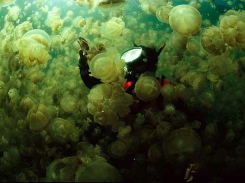 JellyfishSwarm13