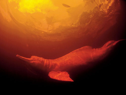 freshwater-dolphin-amazon_103