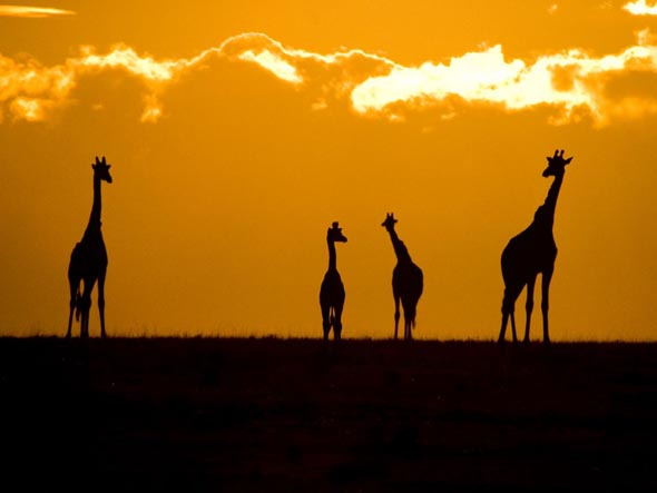 Giraffes at Sunset44