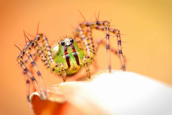 Green Lynx Spider37
