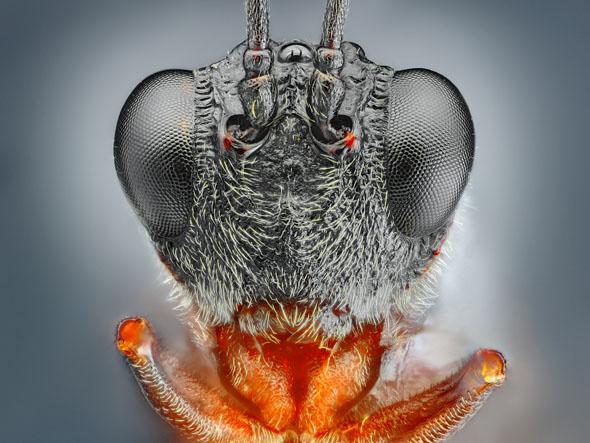 Little black wasp portrait4