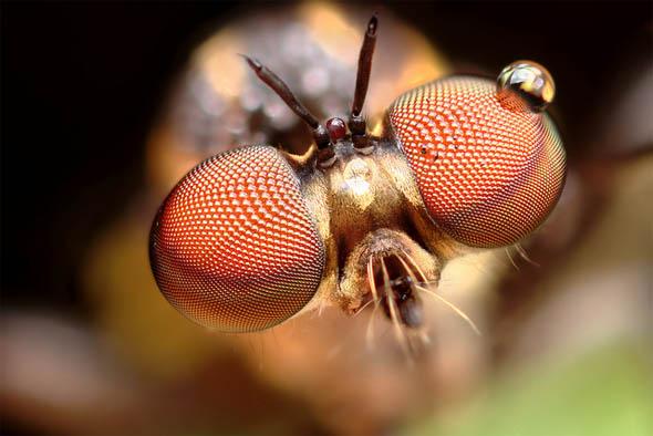 Robber fly Holcocephala fusca compound eyes transition33