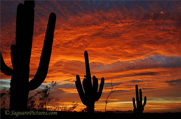 Saguaros on Fire21
