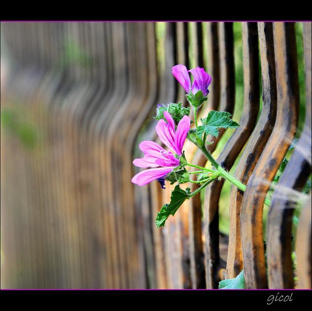 fenced_friday_20