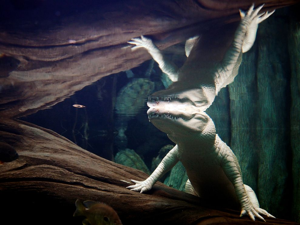 albino-alligator-underwater_22645_990x742