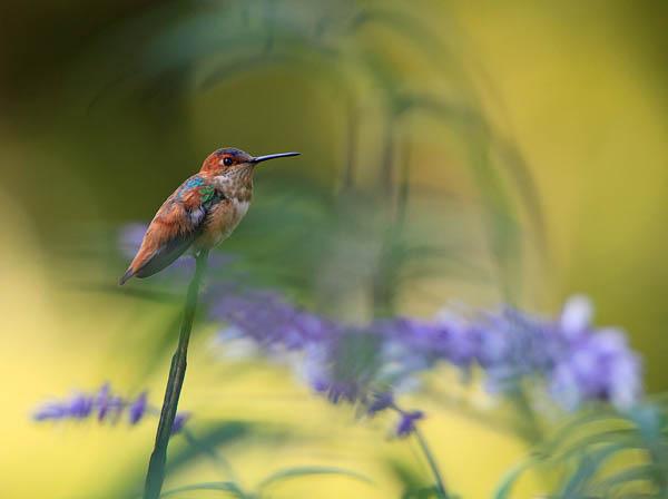 Allen's Hummingbird by ProSwedePhoto_17