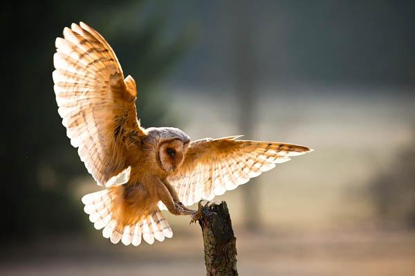 Barn Owl Taking Off Barn Owl 100