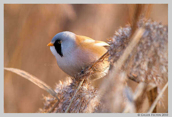 Bearded Tit by Swordtemper_16