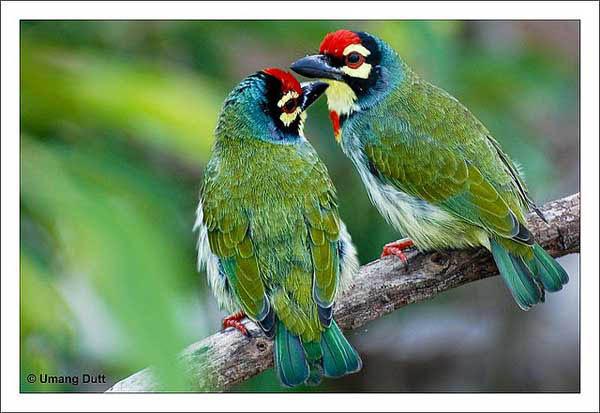 Birds Lovers - Megalaima haemacephala By Umang Dutt_30