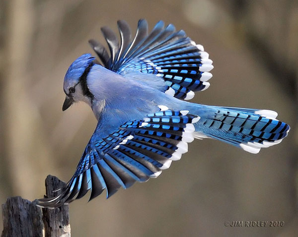 Blue Jay by Jim Ridley_73