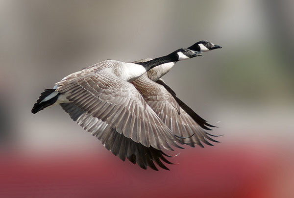 Canada-Geese-in-flight-by-Keith_81