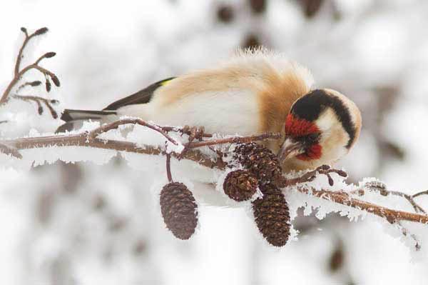 Coldfinch by thrumyeye_37