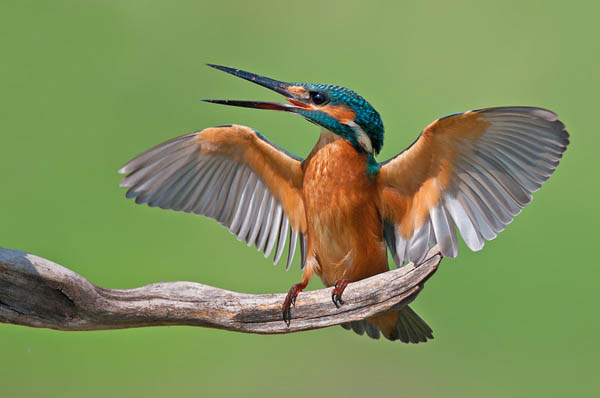 Common Kingfisher by nissim_85
