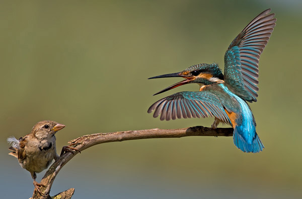 Common Kingfisher vs House Sparrow by nissim_46