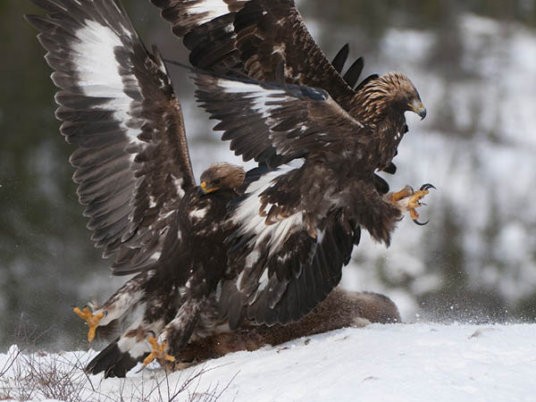 Dance of the Eagles_97