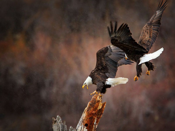 Eagles in Flight by Glen Hush_84