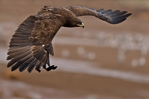 Greater Spotted Eagle by nissim_52