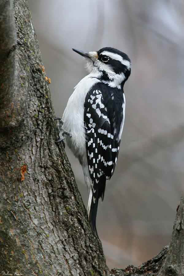 Hairy Woodpecker by chik1117_41