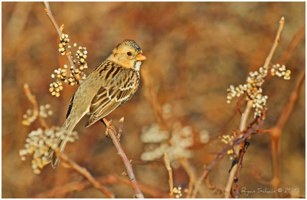 Harris's Sparrow by Ryser915_23