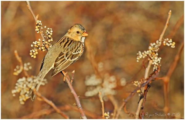 Harris's Sparrow by Ryser915_23