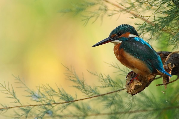 Kingfisher by Daniele Pantanali_11