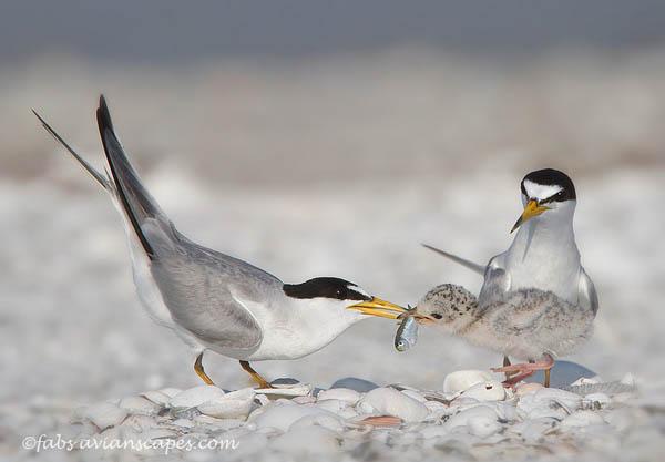 Leas Tern Family by FForns_31
