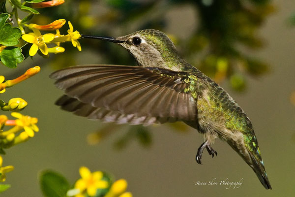 Little Hummer 2 by Mac-Wiz_34