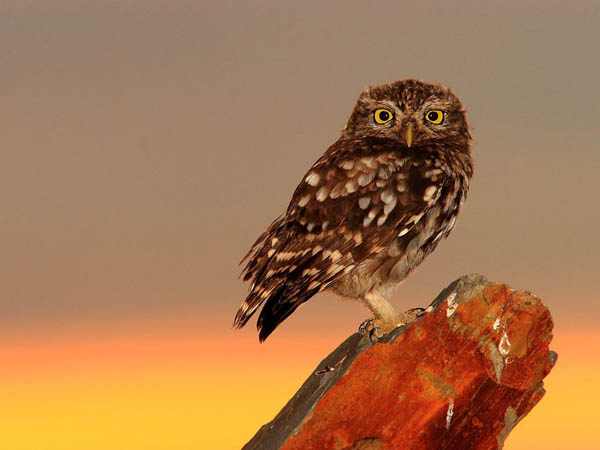 Little Owl_92