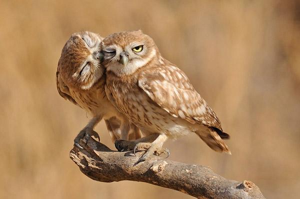 Little Owls by Uri Kolker_44