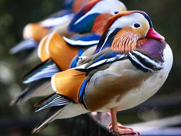 Mandarin Ducks by Michael Schmidt_83