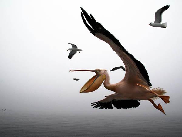 Pelican_90