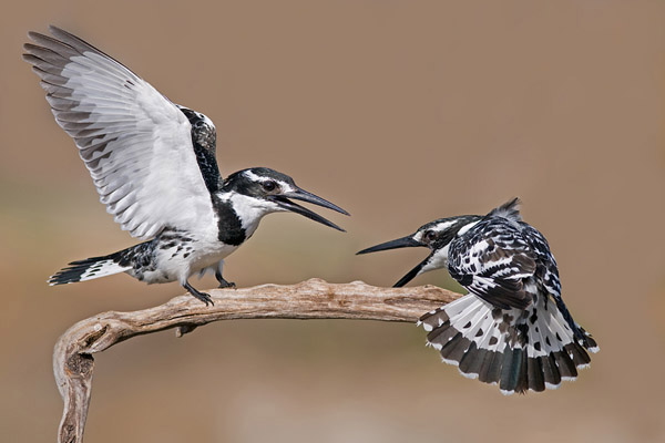 Pied Kingfisher by nissim_59