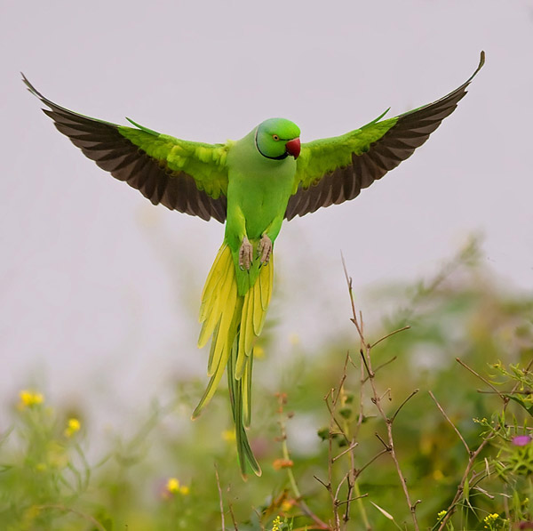 Rose Ringed Parakeet by nissim_56