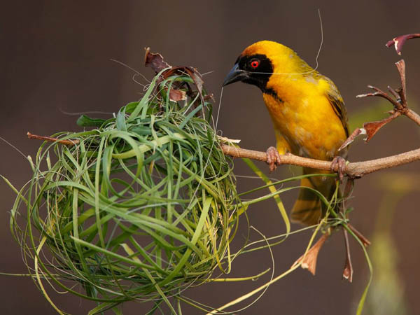 Southern Masked Weaver_93