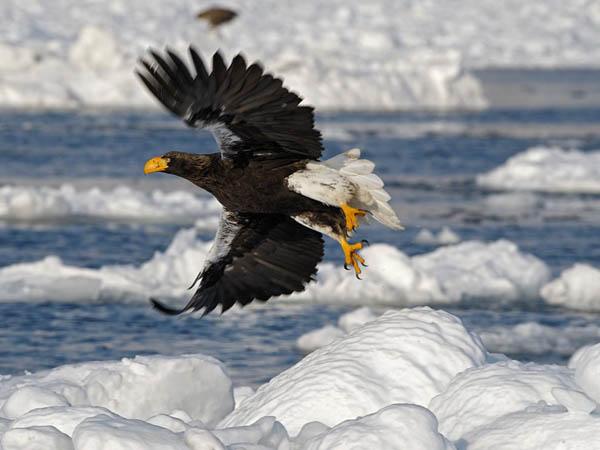 Steller's Sea-Eagle_91