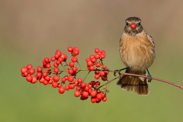 Stonechat by Israel Fichman_43