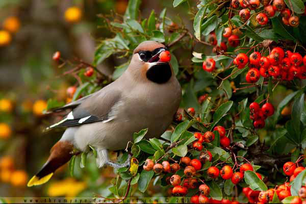 Waxwing revisited by thrumyeye_32