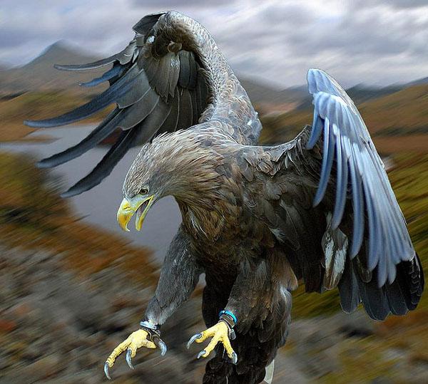 White Tailed Sea Eagle Set Free by Steve Wilson_76