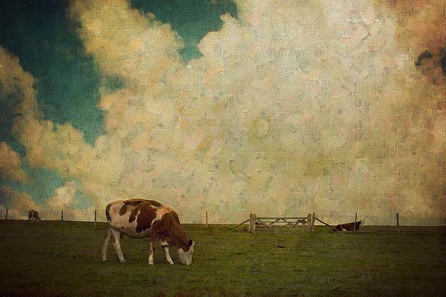 cow_photo_6