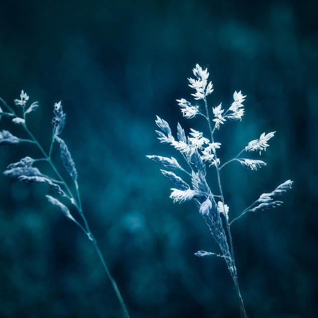 blue_grass_2