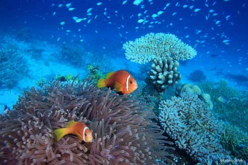 MadiveAnemonofish54