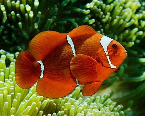 SpineCheekAnemonefish40