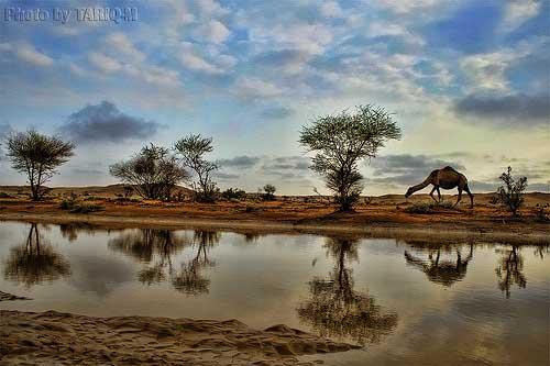 camel66