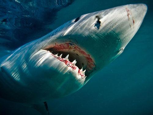 great-white-shark-underwater_104