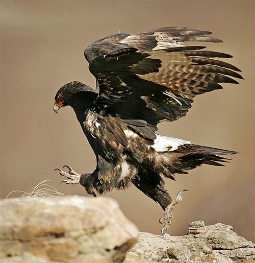blackeagle21