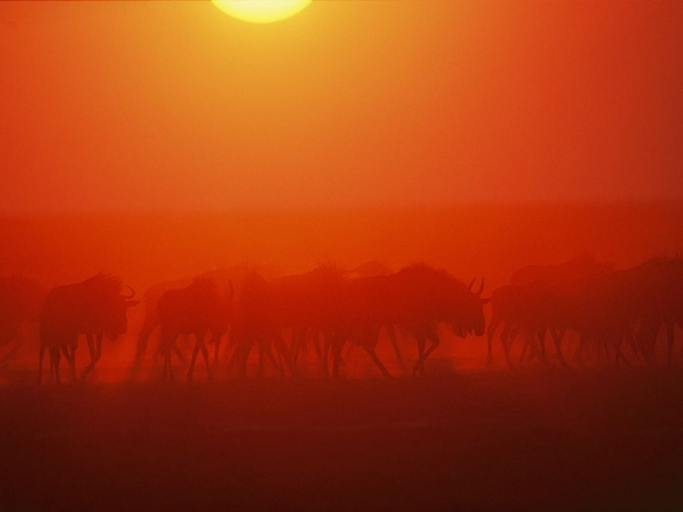 wildebeests-dust-zambia_30